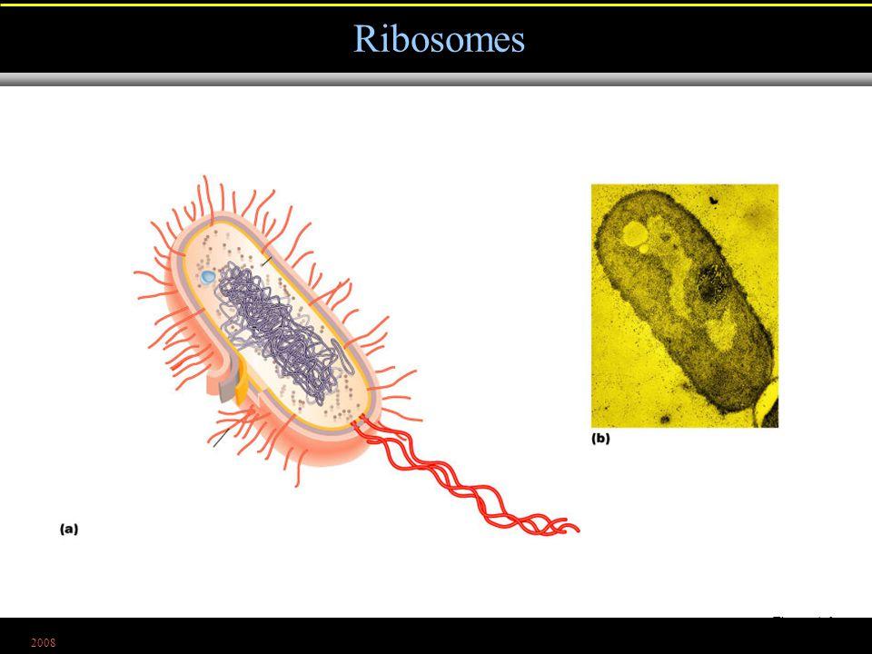 2008 Ribosomes Figure 4.6a