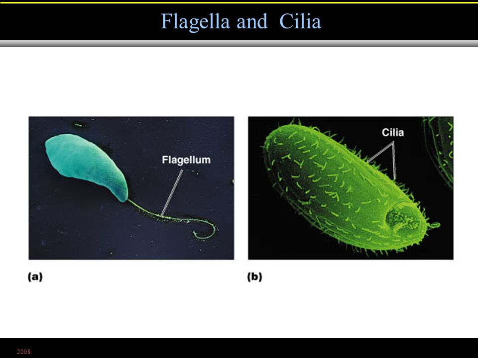 2008 Flagella and Cilia Figure 4.23a, b
