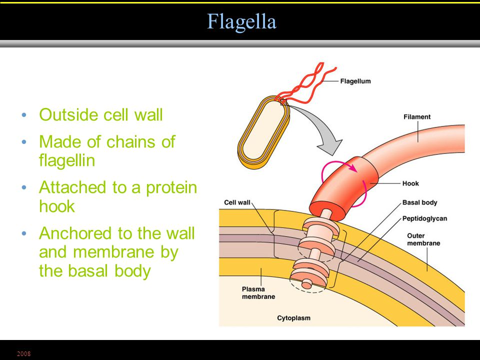 2008 Outside cell wall Made of chains of flagellin Attached to a protein hook Anchored to the wall and membrane by the basal body Flagella Figure 4.8