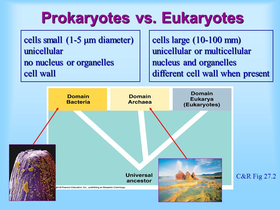 Prokaryotes vs. Eukaryotes cells small (1-5 μm diameter) unicellular no nucleus or organelles cell wall cells large (10-100 mm) unicellular or multice