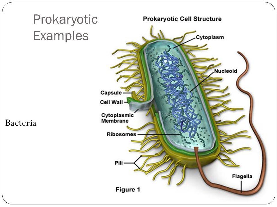 Prokaryotic Examples Bacteria