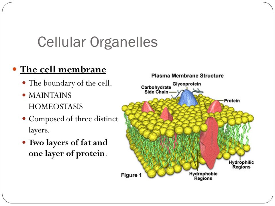 Cellular Organelles The cell membrane The boundary of the cell.