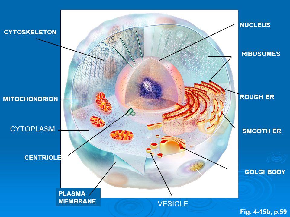 CYTOSKELETON MITOCHONDRION CENTRIOLES LYSOSOME GOLGI BODY SMOOTH ER ROUGH ER RIBOSOMES NUCLEUS PLASMA MEMBRANE Fig.