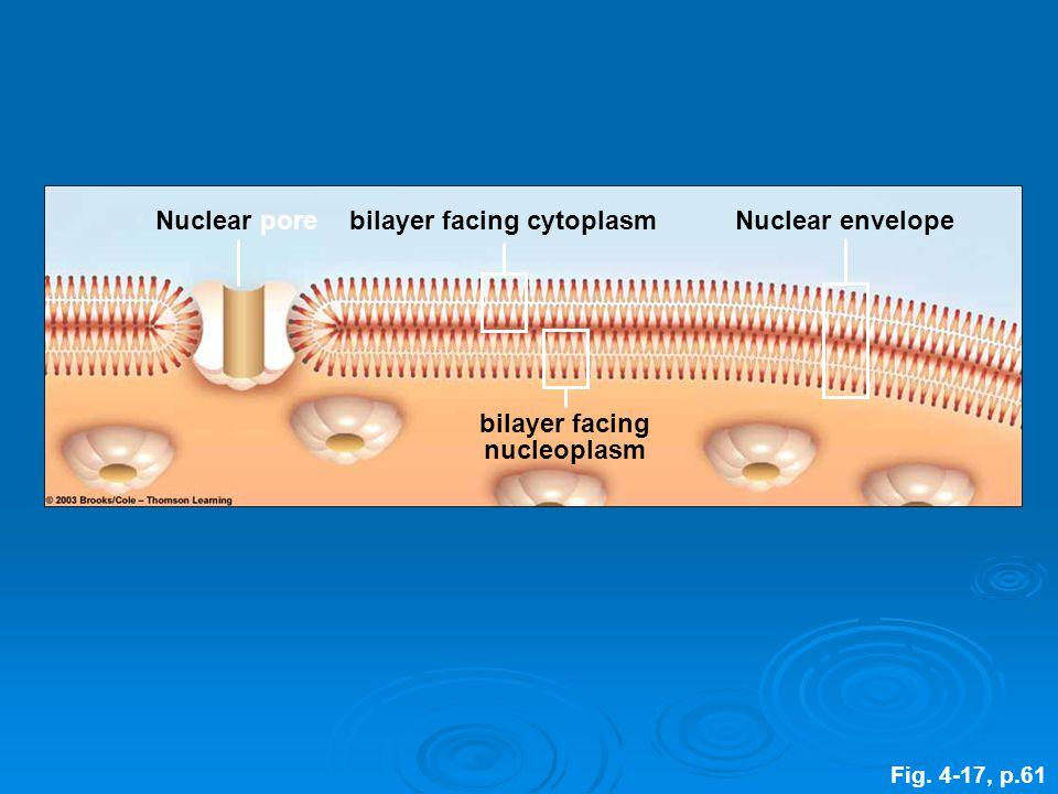 Nuclear porebilayer facing cytoplasmNuclear envelope bilayer facing nucleoplasm Fig. 4-17, p.61