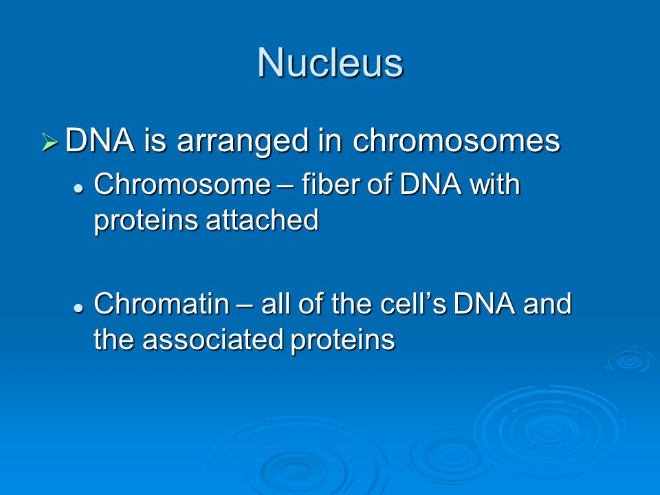 Nucleus  DNA is arranged in chromosomes Chromosome – fiber of DNA with proteins attached Chromosome – fiber of DNA with proteins attached Chromatin –