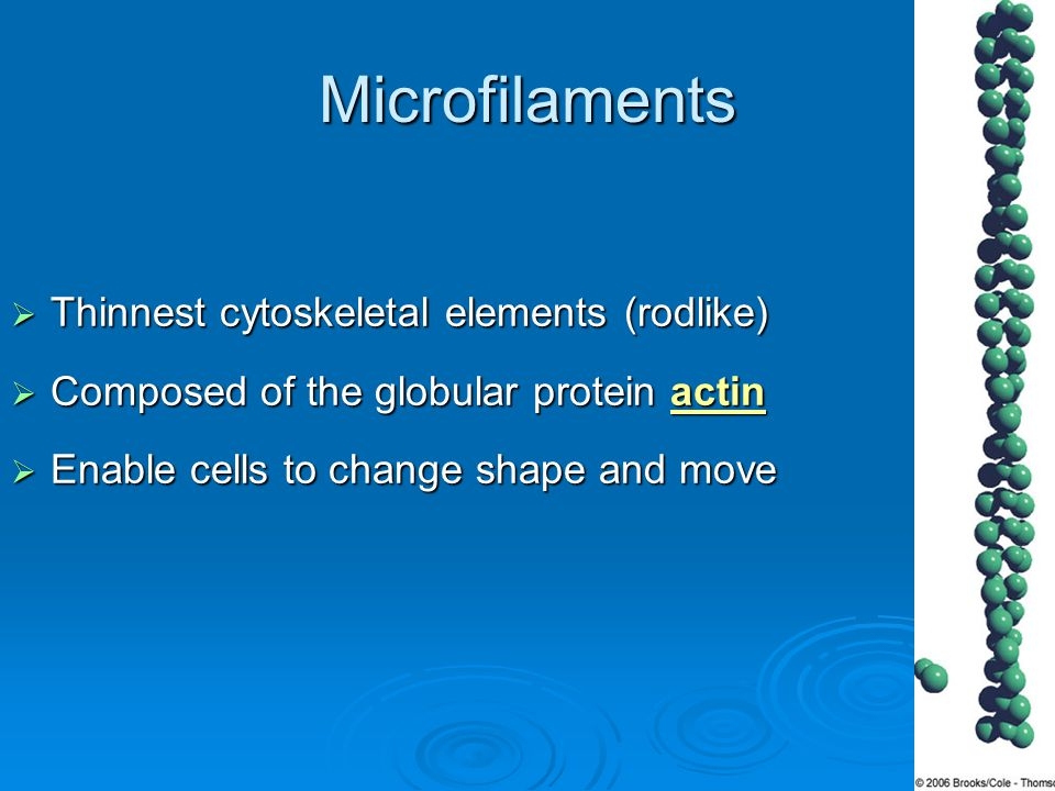 Microfilaments  Thinnest cytoskeletal elements (rodlike)  Composed of the globular protein actin  Enable cells to change shape and move