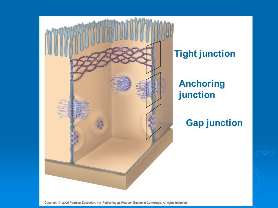 Gap junction Anchoring junction Tight junction