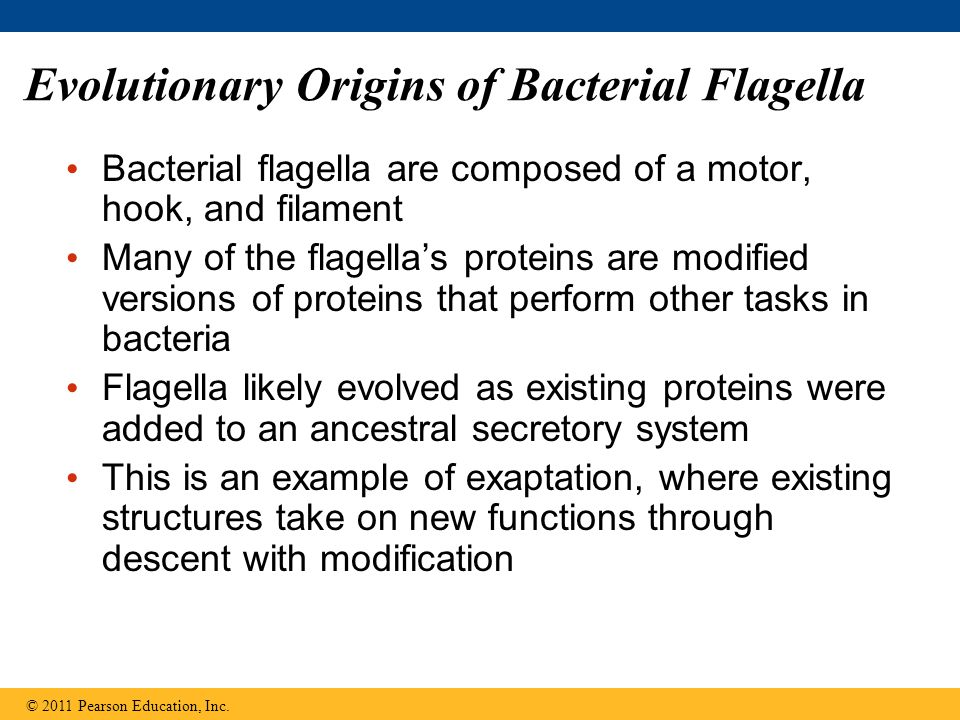 Evolutionary Origins of Bacterial Flagella Bacterial flagella are composed of a motor, hook, and filament Many of the flagella's proteins are modified