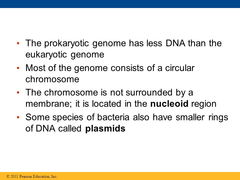 The prokaryotic genome has less DNA than the eukaryotic genome Most of the genome consists of a circular chromosome The chromosome is not surrounded b