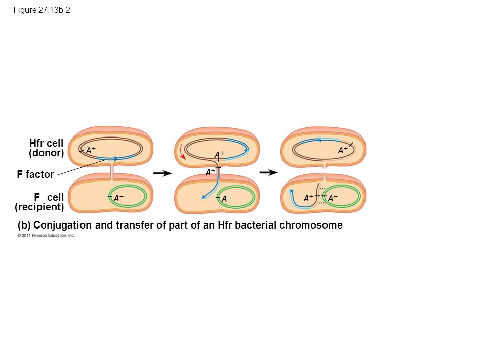 Figure 27.13b-2 Hfr cell (donor) F  cell (recipient) (b) Conjugation and transfer of part of an Hfr bacterial chromosome F factor AA AA AA AA