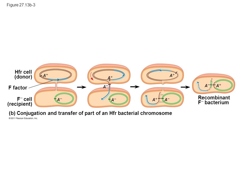 Figure 27.13b-3 Hfr cell (donor) F  cell (recipient) (b) Conjugation and transfer of part of an Hfr bacterial chromosome F factor AA AA Recombina
