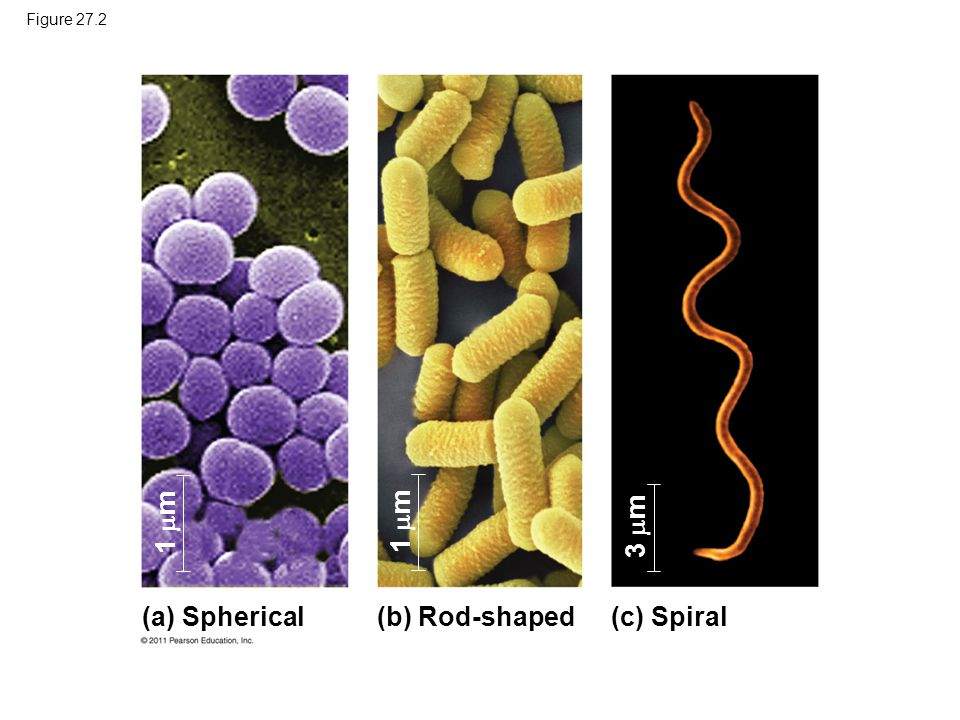 Their short generation time allows prokaryotes to evolve quickly –For example, adaptive evolution in a bacterial colony was documented in a lab over 8 years Prokaryotes are not primitive but are highly evolved © 2011 Pearson Education, Inc.
