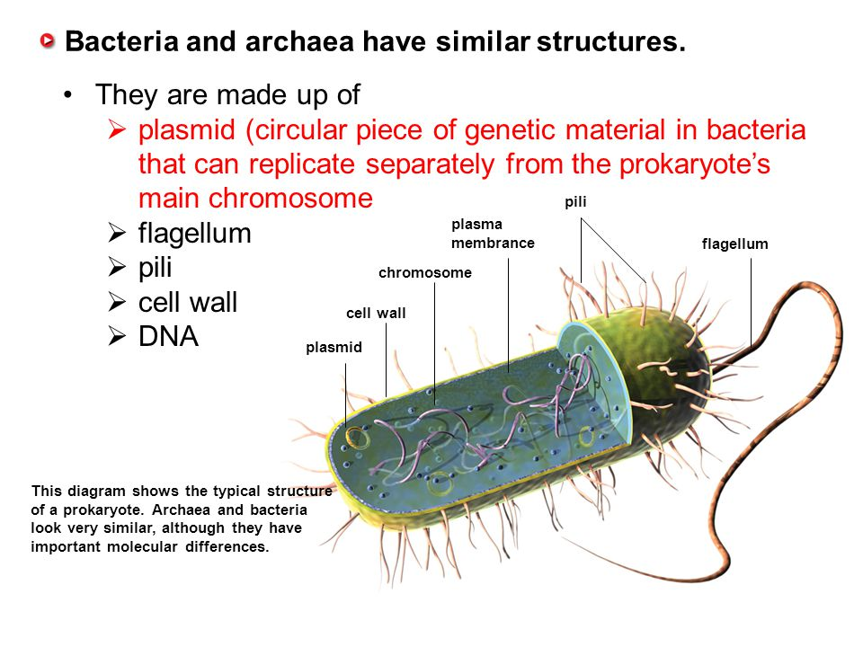 13.1 Ecologists Study Relationships Bacteria and archaea have similar structures. They are made up of  plasmid (circular piece of genetic material in
