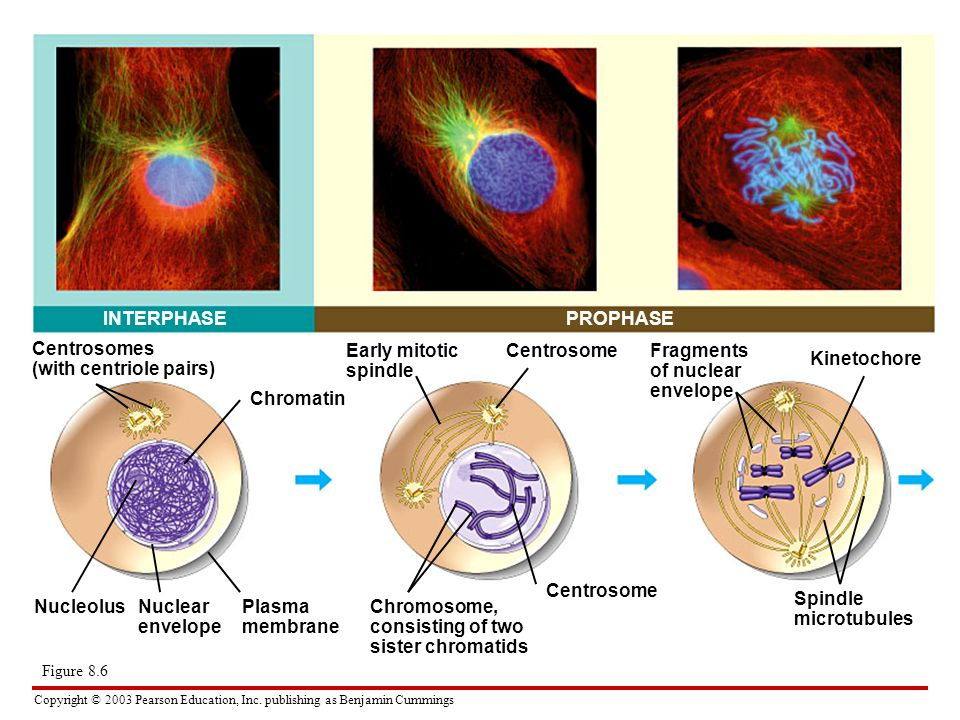 Copyright © 2003 Pearson Education, Inc. publishing as Benjamin Cummings INTERPHASEPROPHASE Centrosomes (with centriole pairs) Chromatin NucleolusNucl