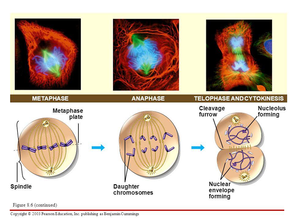 Copyright © 2003 Pearson Education, Inc. publishing as Benjamin Cummings METAPHASETELOPHASE AND CYTOKINESIS Metaphase plate SpindleDaughter chromosome