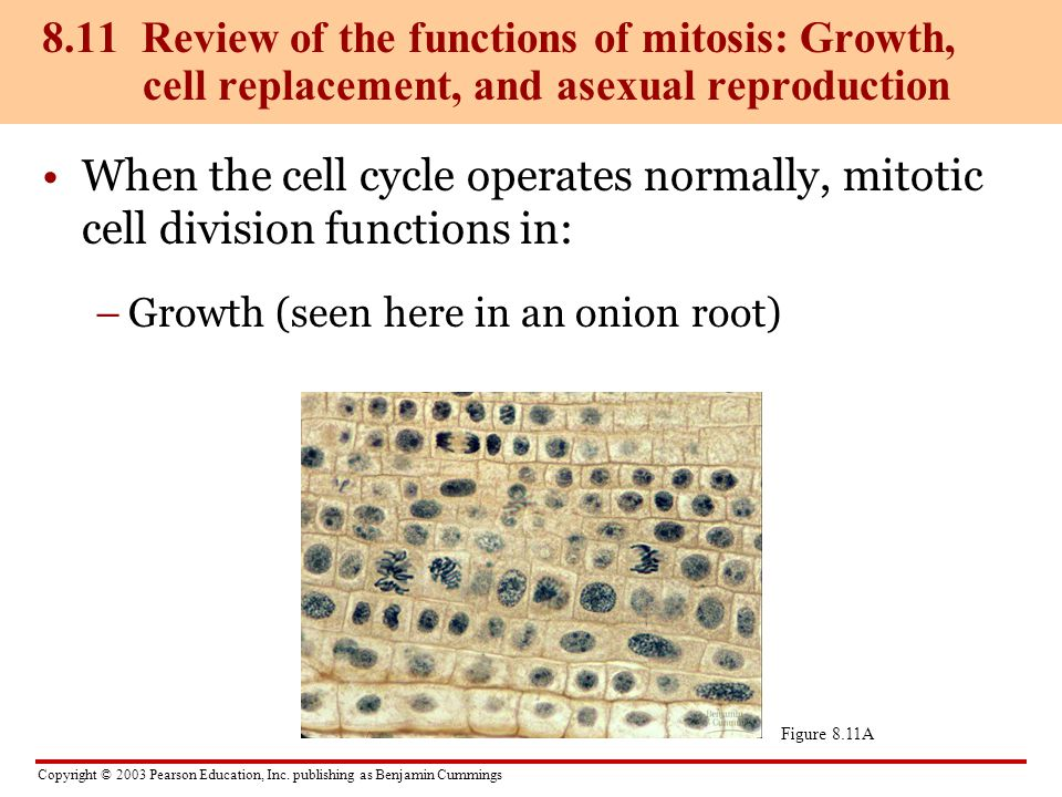 Copyright © 2003 Pearson Education, Inc. publishing as Benjamin Cummings When the cell cycle operates normally, mitotic cell division functions in: –G