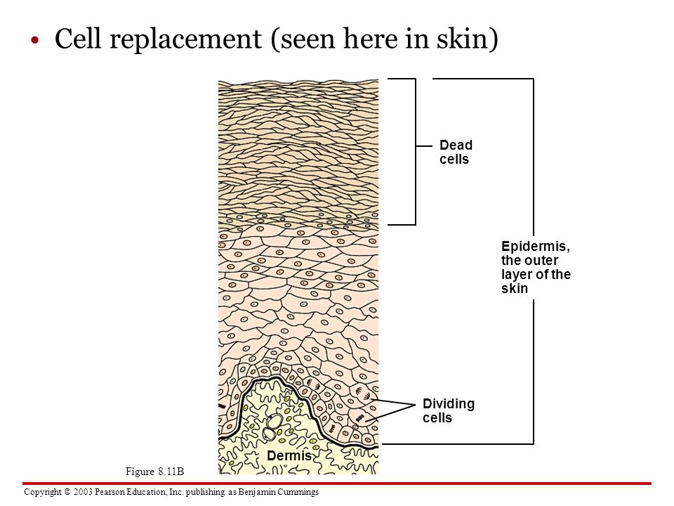 Copyright © 2003 Pearson Education, Inc. publishing as Benjamin Cummings Cell replacement (seen here in skin) Dead cells Figure 8.11B Dividing cells E