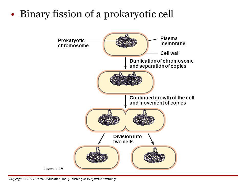 Copyright © 2003 Pearson Education, Inc. publishing as Benjamin Cummings Figure 8.3A Binary fission of a prokaryotic cell Prokaryotic chromosome Plasm