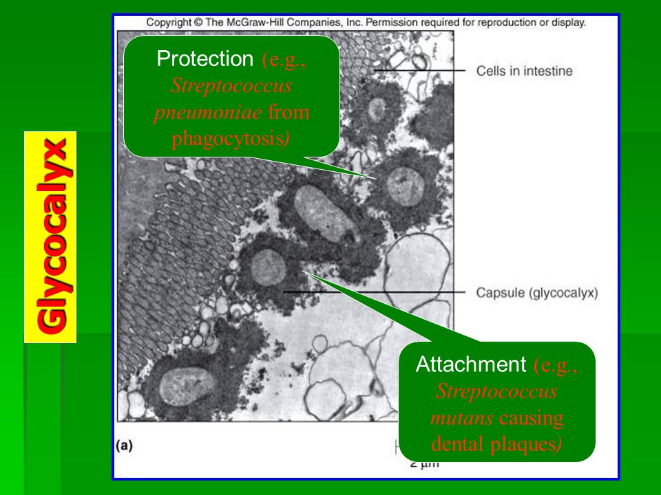 Glycocalyx Protection (e.g., Streptococcus pneumoniae from phagocytosis) Attachment (e.g., Streptococcus mutans causing dental plaques)