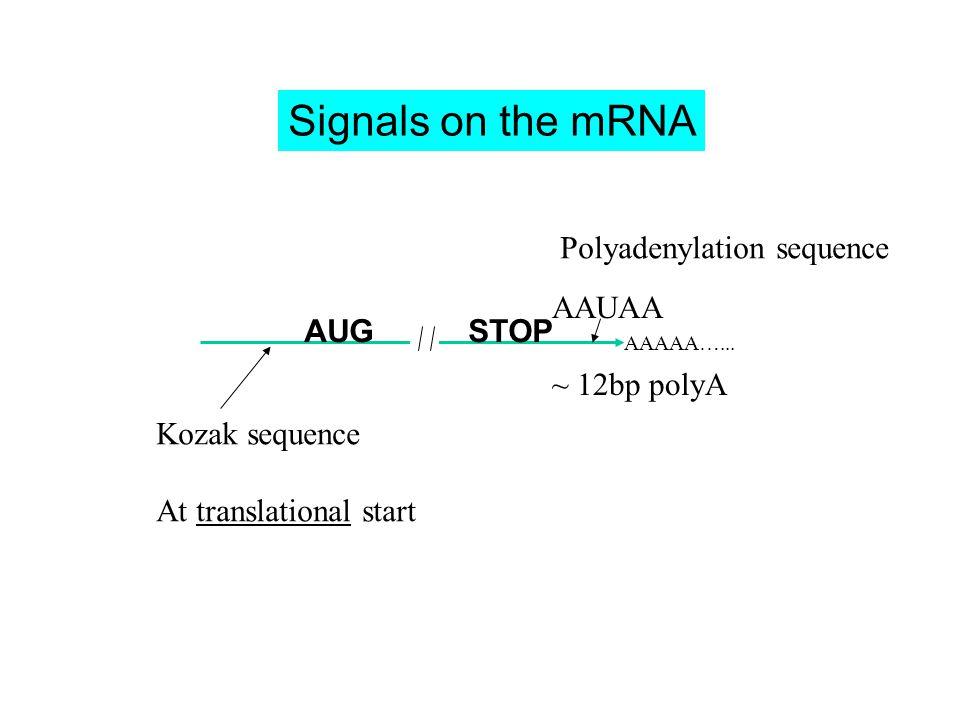 AAUAA ~ 12bp polyA AAAAA…... Kozak sequence At translational start Polyadenylation sequence AUG Signals on the mRNA STOP