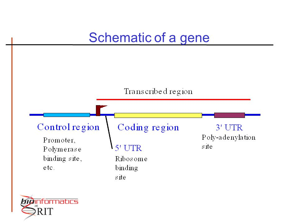 Schematic of a gene