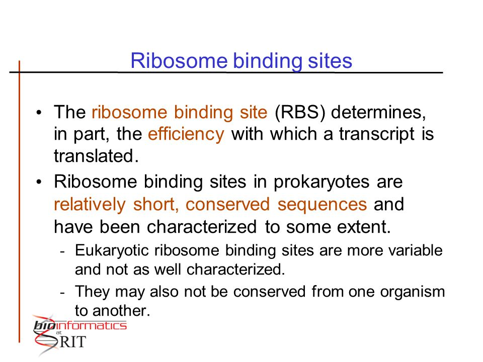 Ribosome binding sites The ribosome binding site (RBS) determines, in part, the efficiency with which a transcript is translated. Ribosome binding sit