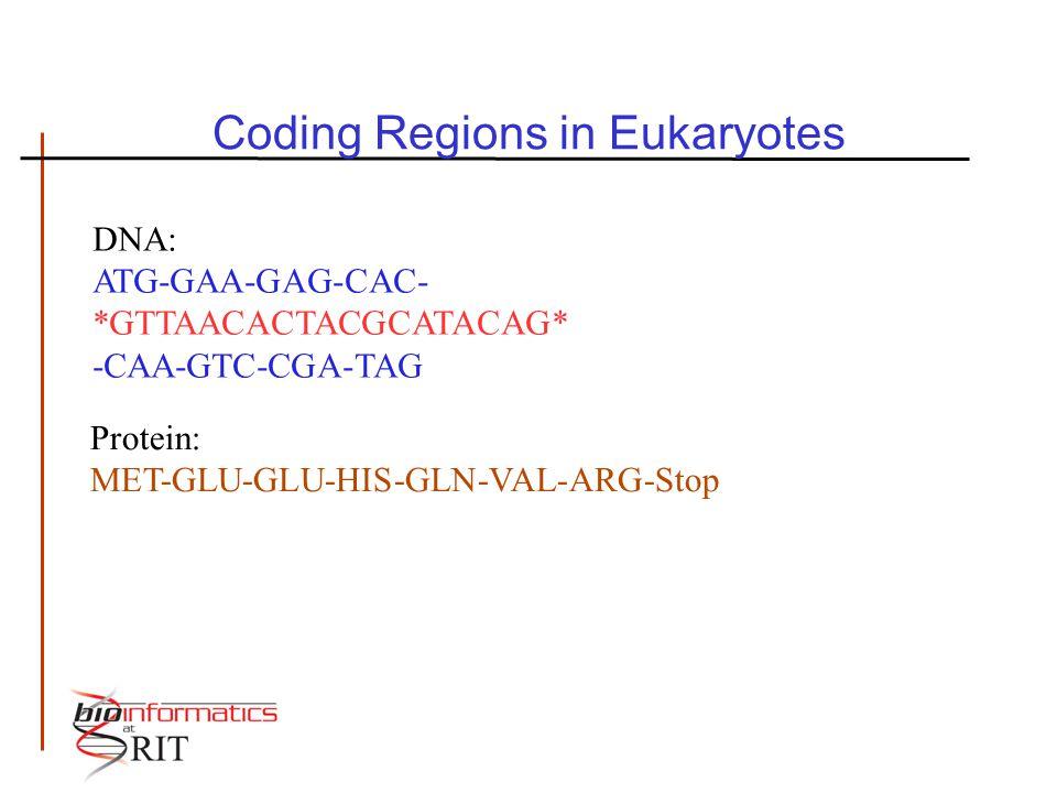 Coding Regions in Eukaryotes DNA: ATG-GAA-GAG-CAC- *GTTAACACTACGCATACAG* -CAA-GTC-CGA-TAG Protein: MET-GLU-GLU-HIS-GLN-VAL-ARG-Stop