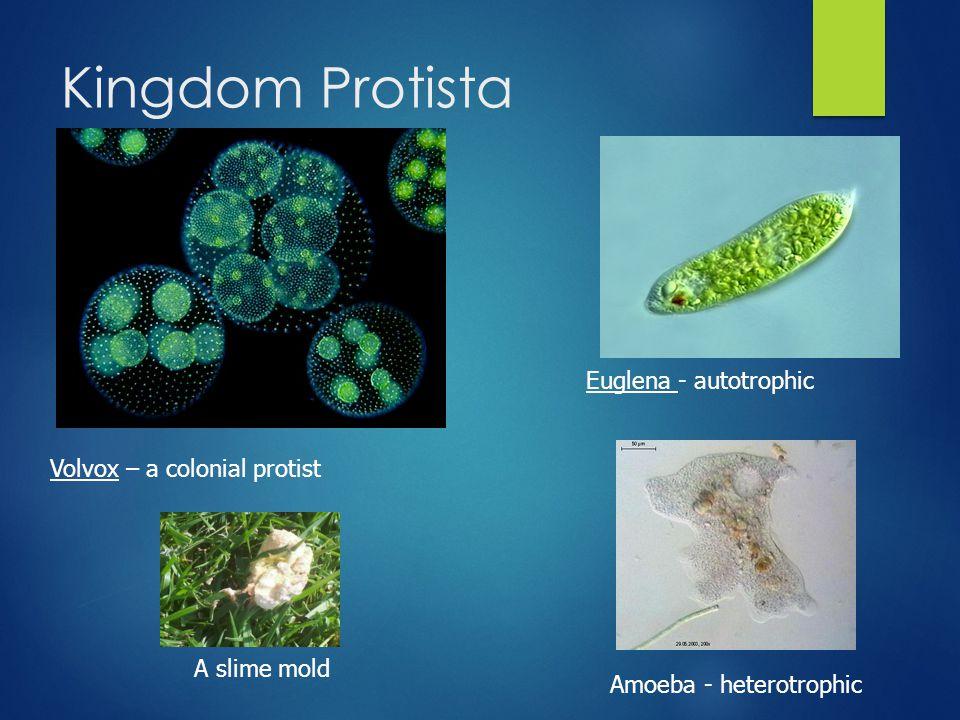 Kingdom Protista Volvox – a colonial protist Euglena - autotrophic A slime mold Amoeba - heterotrophic