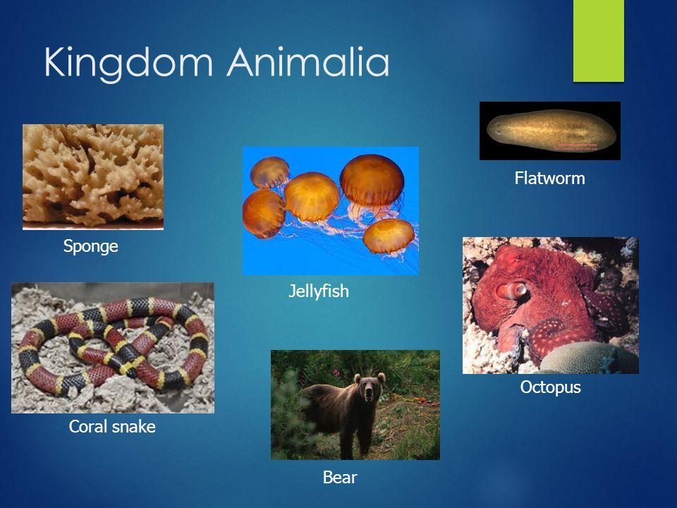 Kingdom Animalia Coral snake Sponge Flatworm Octopus Jellyfish Bear