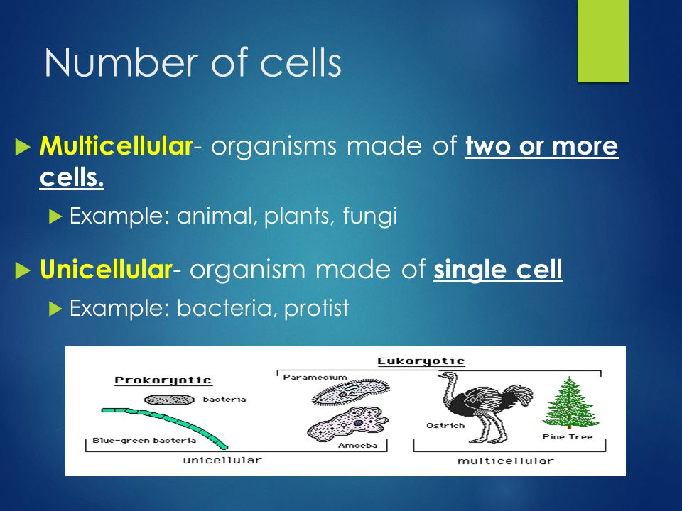 Number of cells  Multicellular - organisms made of two or more cells.