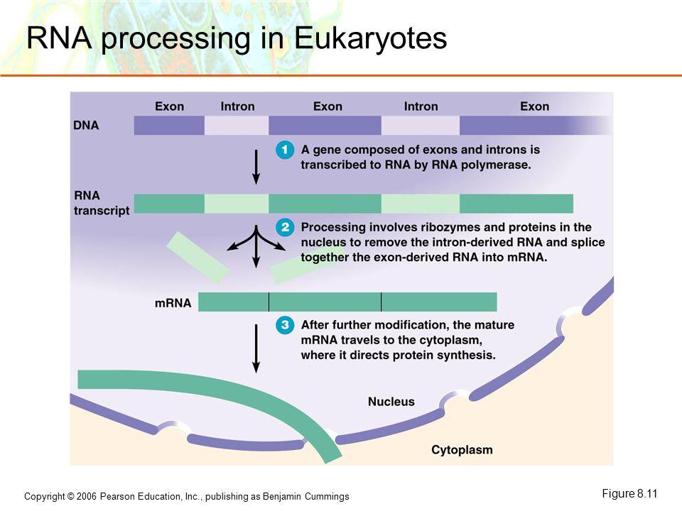 Copyright © 2006 Pearson Education, Inc., publishing as Benjamin Cummings RNA processing in Eukaryotes Figure 8.11