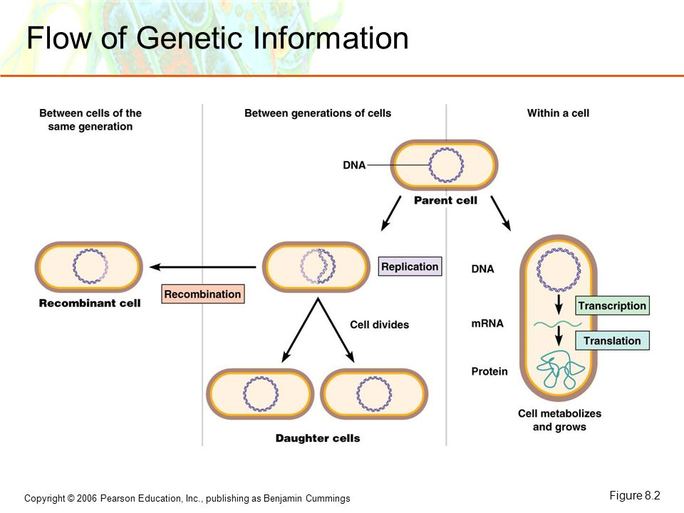 Copyright © 2006 Pearson Education, Inc., publishing as Benjamin Cummings Flow of Genetic Information Figure 8.2