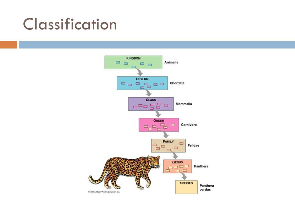  Cladogram-  a model used by evolutionary biologists to represent evolutionary history among species  Clade- a group of species that includes a single common ancestor and all descendants of that ancestor.