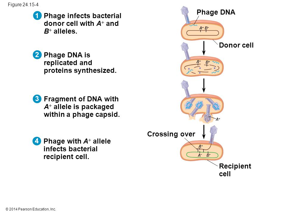 © 2014 Pearson Education, Inc. 432 1 Phage infects bacterial donor cell with A  and B  alleles.