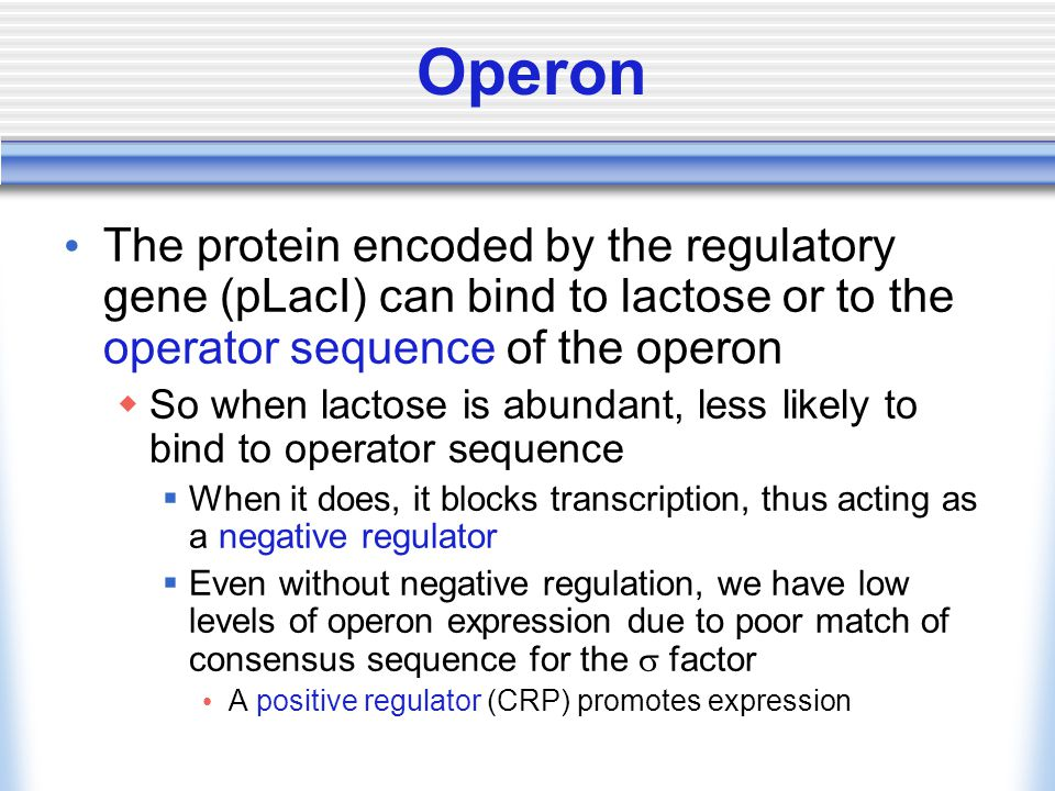 The protein encoded by the regulatory gene (pLacI) can bind to lactose or to the operator sequence of the operon  So when lactose is abundant, less l