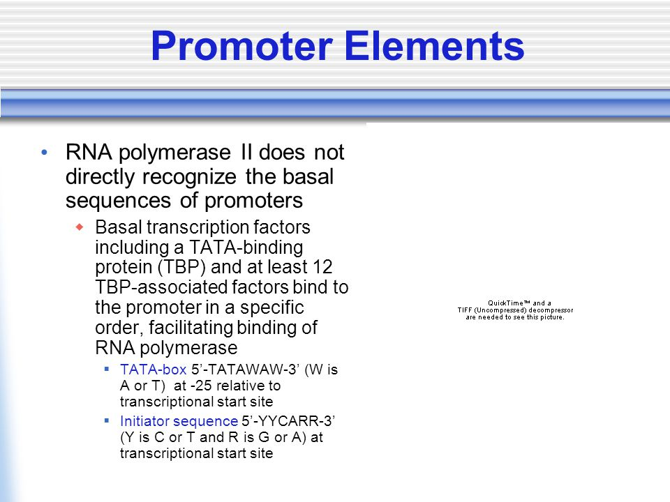 Promoter Elements RNA polymerase II does not directly recognize the basal sequences of promoters  Basal transcription factors including a TATA-binding protein (TBP) and at least 12 TBP-associated factors bind to the promoter in a specific order, facilitating binding of RNA polymerase  TATA-box 5'-TATAWAW-3' (W is A or T) at -25 relative to transcriptional start site  Initiator sequence 5'-YYCARR-3' (Y is C or T and R is G or A) at transcriptional start site