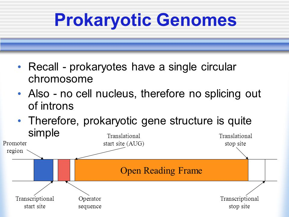 Prokaryotic Genomes Recall - prokaryotes have a single circular chromosome Also - no cell nucleus, therefore no splicing out of introns Therefore, pro