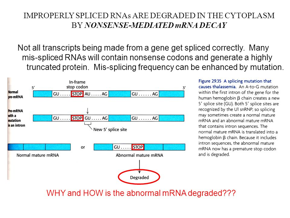 IMPROPERLY SPLICED RNAs ARE DEGRADED IN THE CYTOPLASM BY NONSENSE-MEDIATED mRNA DECAY Not all transcripts being made from a gene get spliced correctly.