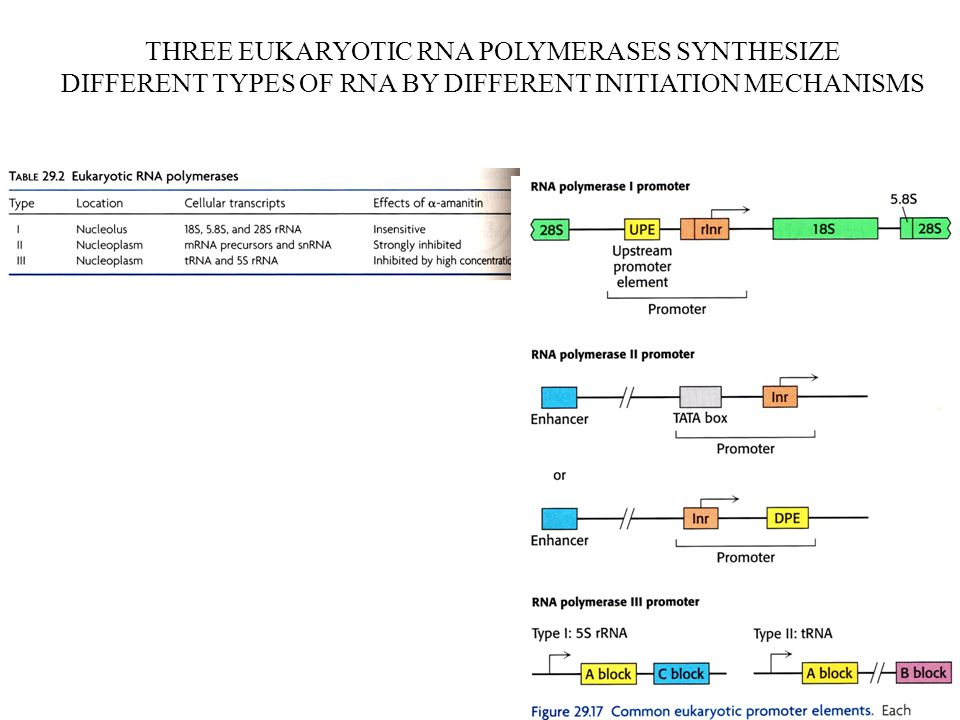 THREE EUKARYOTIC RNA POLYMERASES SYNTHESIZE DIFFERENT TYPES OF RNA BY DIFFERENT INITIATION MECHANISMS