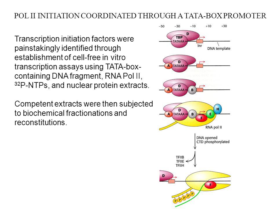 EUKARYOTIC POST- AND CO-TRANSCRIPTIONAL RNA PROCESSING Transcription elongation very similar in eukaryotes and prokaryotes: moving polymerase transcription bubble.