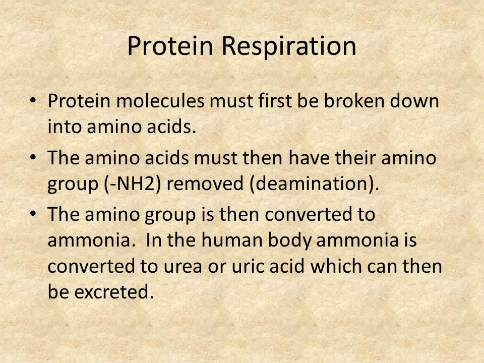 Protein Respiration Protein molecules must first be broken down into amino acids.