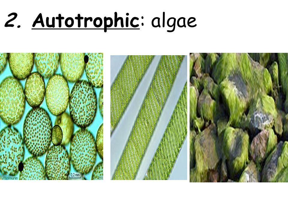 2. Autotrophic: algae