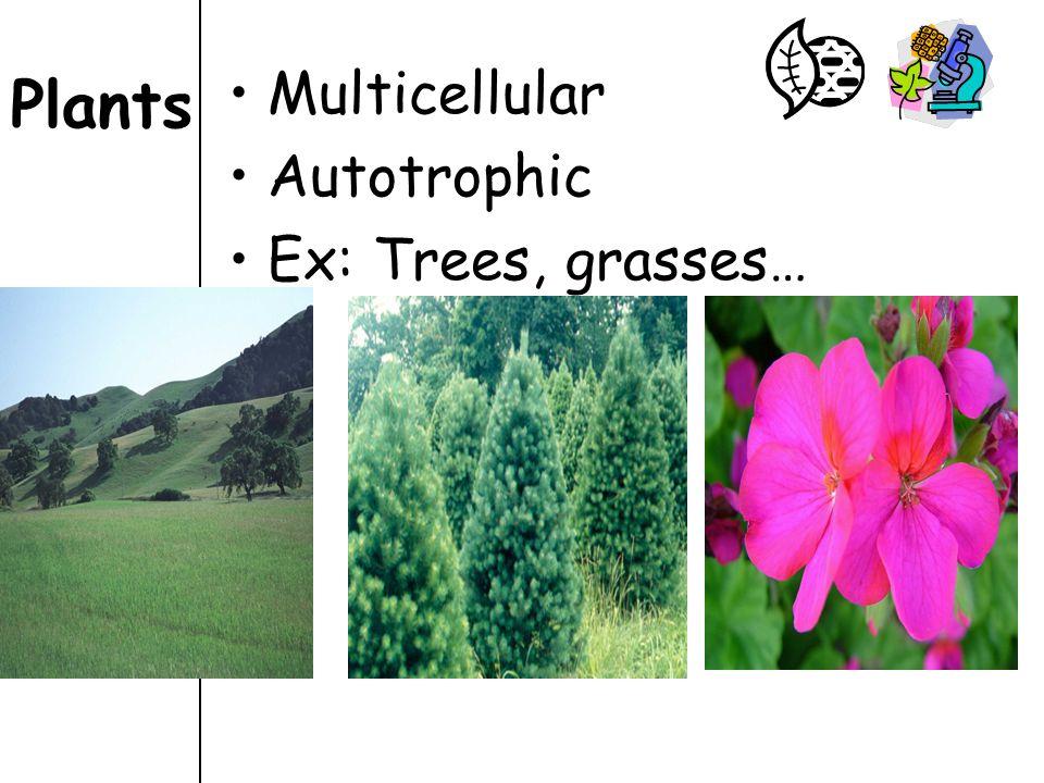 Plants Multicellular Autotrophic Ex: Trees, grasses…