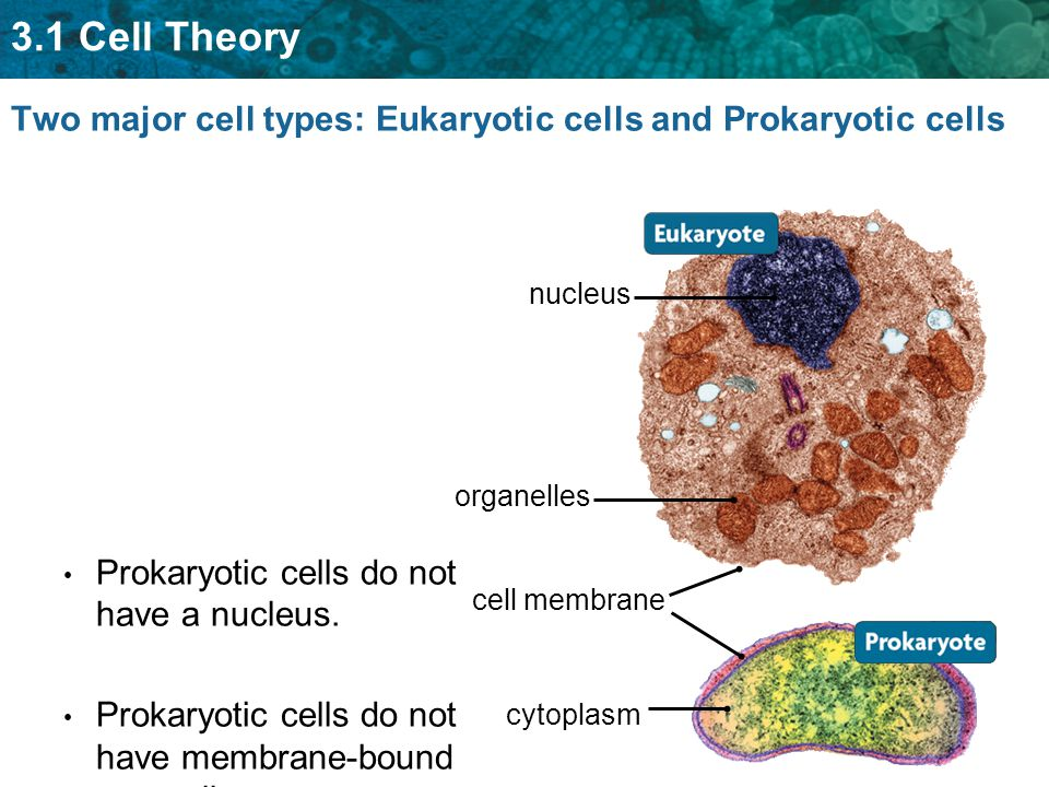 3.1 Cell Theory Two major cell types: Eukaryotic cells and Prokaryotic cells Prokaryotic cells do not have a nucleus.