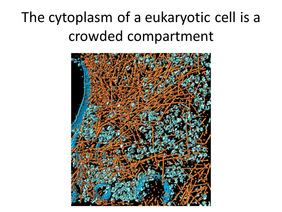 The cytoplasm of a eukaryotic cell is a crowded compartment