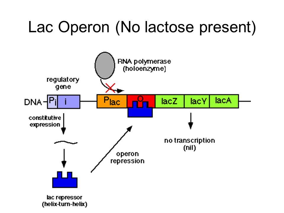 Lac Operon (No lactose present)