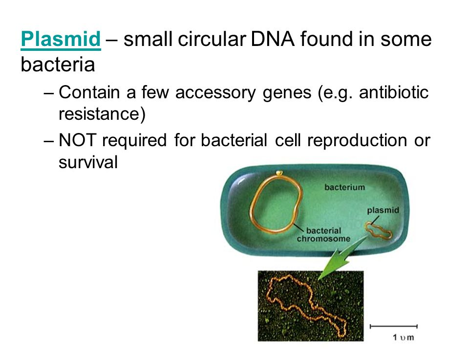 PlasmidPlasmid – small circular DNA found in some bacteria –Contain a few accessory genes (e.g.