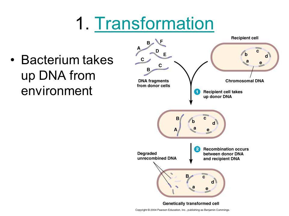 2. TransductionTransduction Viruses (bacteriophage) transfer genes between bacteria