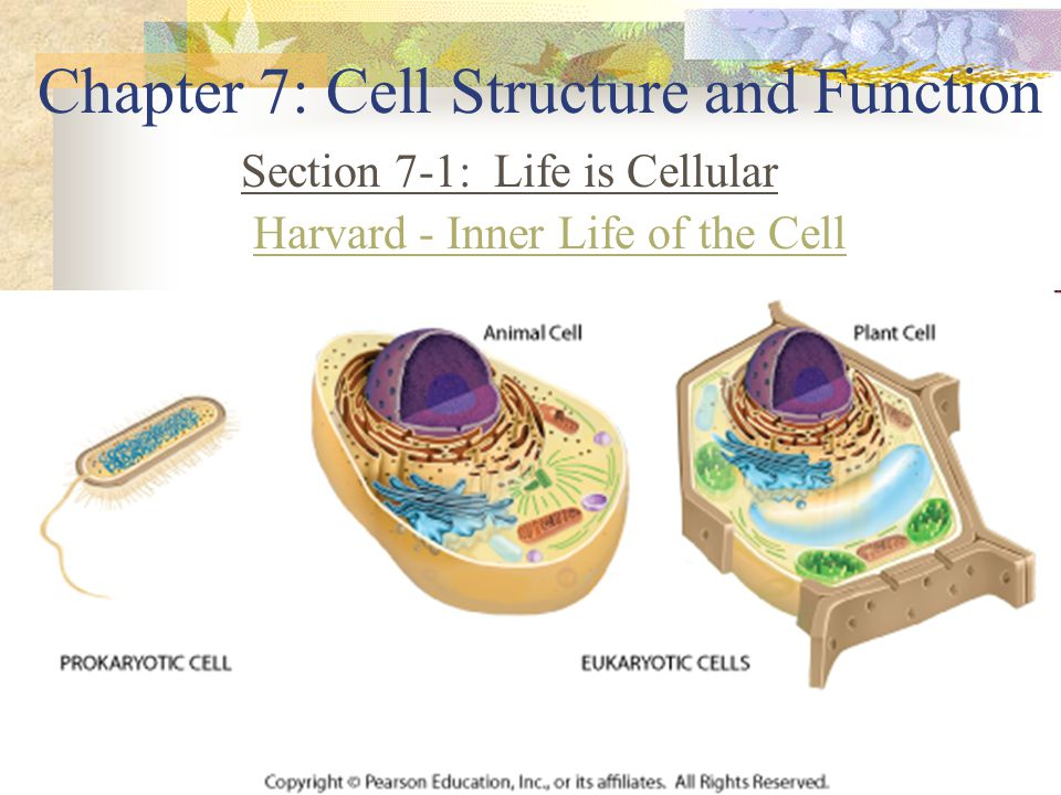 7-2 Cell Structures Organelle – a specialized structure that performs a specific function inside a cell Cytoplasm Found – between the nucleus and cell membrane Structure – a clear jelly-like fluid Function – supports the organelles