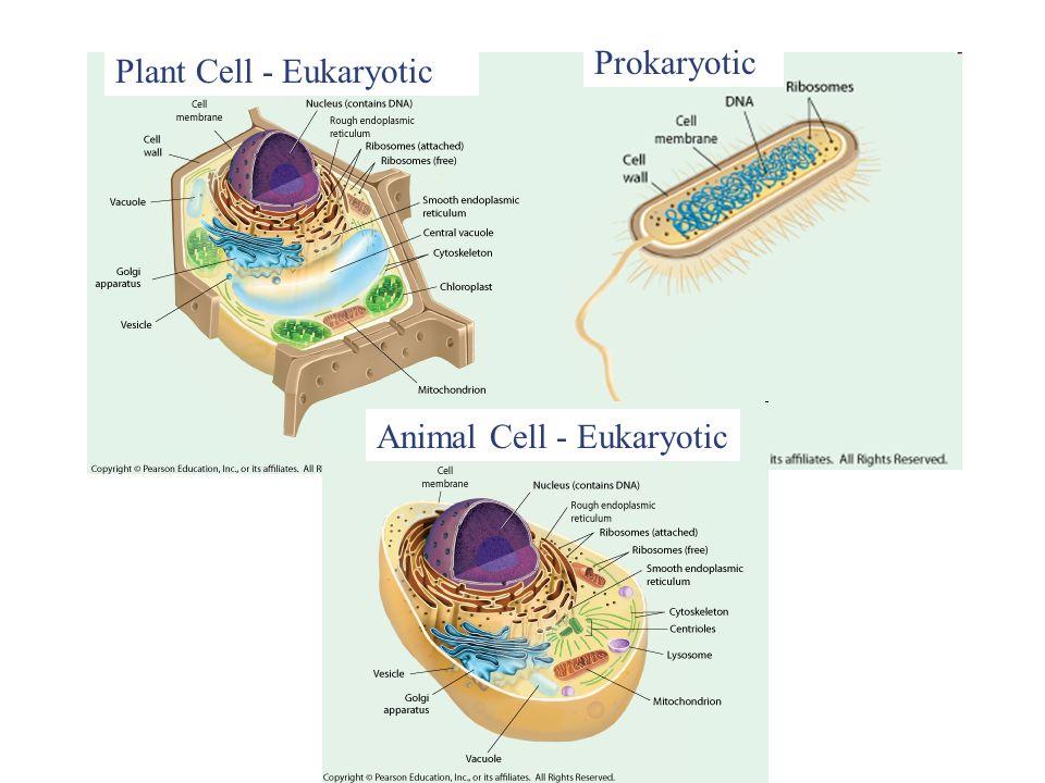 Animal Cell - Eukaryotic Prokaryotic Plant Cell - Eukaryotic